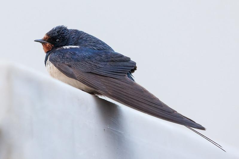 Barn Swallow - Hirundo rustica - Landsvala