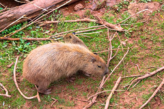 animal, rodent, muridae, fauna, muskrat, capybara, beaver, wildlife,