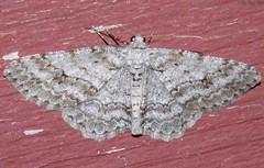 6597 Ectropis crepuscularia (Small Engrailed)