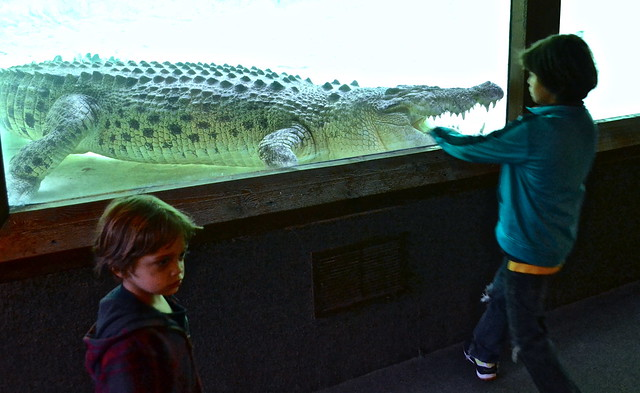 up close encounter with an alligator