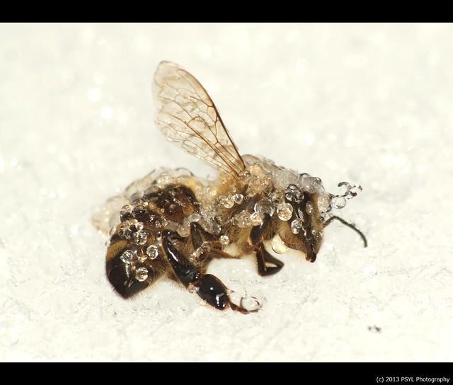Frozen Honey Bee