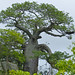Small photo of Baobab (Adansonia digitata)