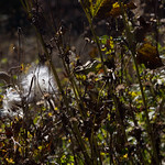 Milkweed at Avalon