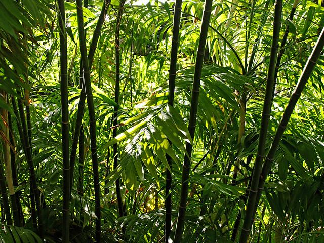 Bamboo, Botanical Gardens, Puerto de la Cruz, Tenerife