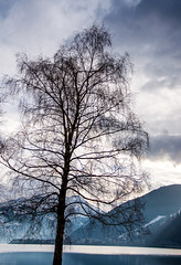 Baum am Zeller See