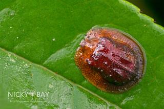 Tortoise Beetle (Notosacantha cf. rufa) - DSC_4573