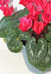 shrub(0.0), flower(1.0), leaf(1.0), plant(1.0), flora(1.0), cyclamen(1.0), pink(1.0), petal(1.0),