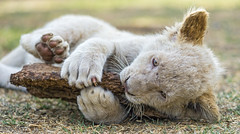 White lion cub playing with the wood stick
