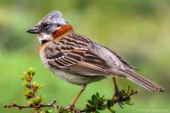 animal, sparrow, perching bird, fauna, finch, emberizidae, beak, bird, lark, wildlife,