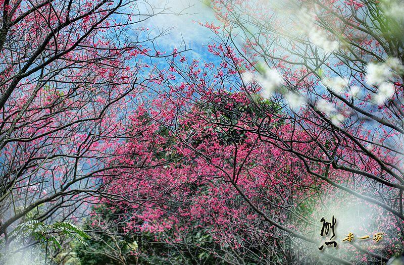 [三峽私房賞櫻景點] 天上人間建安131櫻花園~三峽安坑里獅子頭山櫻花