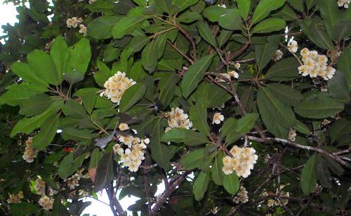 Elaeocarpus bancroftii DSC_0398 (7)