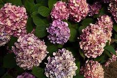 lilac(1.0), annual plant(1.0), flower(1.0), hydrangea serrata(1.0), plant(1.0), lilac(1.0), flora(1.0), petal(1.0),