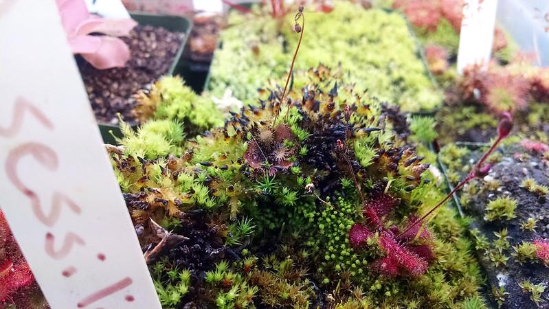 Drosera brevifolia and Sphagnum moss.