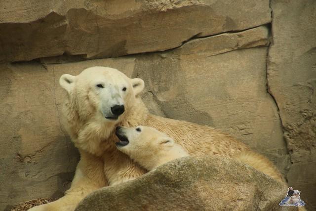 Eisbär Lili im Zoo Bremerhaven 30.04.2016 Tei 1  80