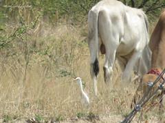 Great (Egret Bubulcus ibis) Oaxaca
