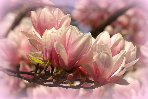 magnolia beauty