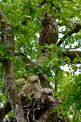 Mom Watching Over All Three Owlets (explored)