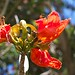 Small photo of African Tulip Tree Flower