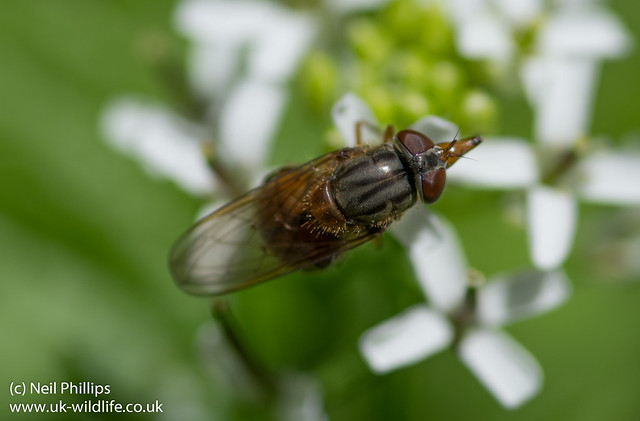 Rhingia campestris hoverfly-2
