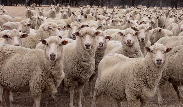 Sheep on the farm (071)