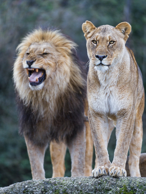 Lion and lioness II