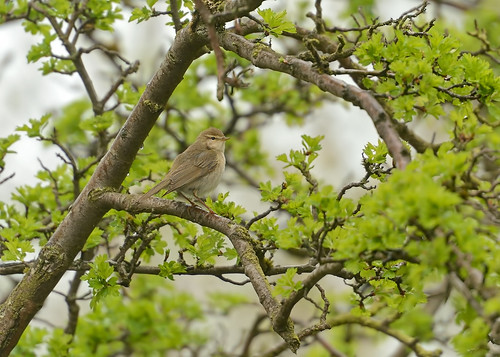 At last, I ID'd a bird...... A Willow Warbler in the rain by Andy Pritchard - Barrowford