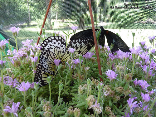 Nel Mondo delle Farfalle - Fiorellini