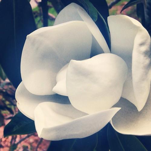 Magnolia (130/365) by elawgrrl