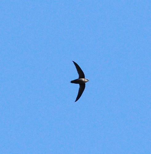 Chaetura Swift. (Chimney?). Rio Grande Nature Center, Bernalillo Co., NM. 05/12/2013