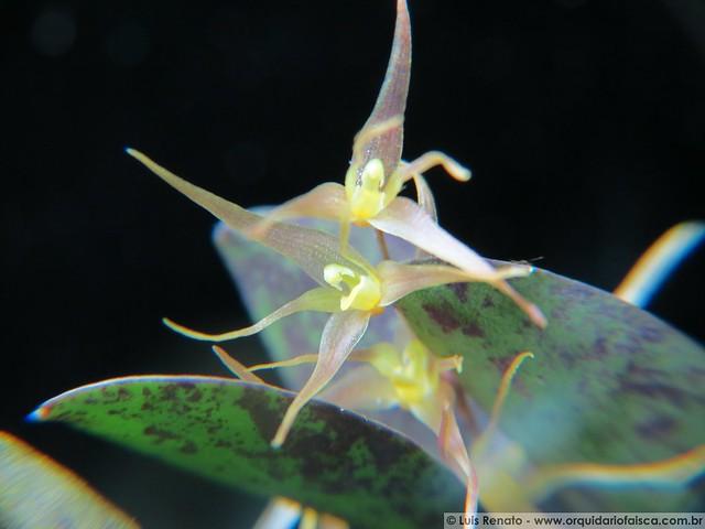 1220 - Specklinia heterophylla