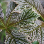 Rodgersia leaves just opening out