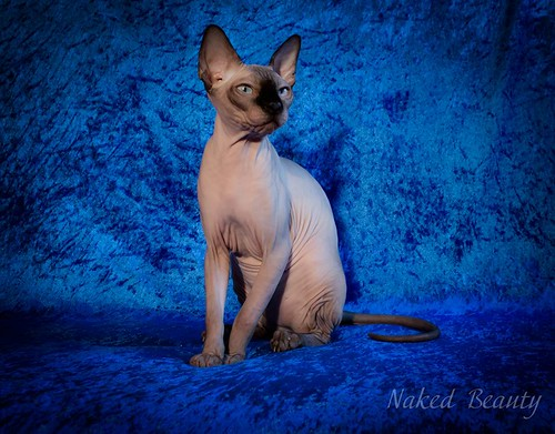 Sphynx cats and kittens of