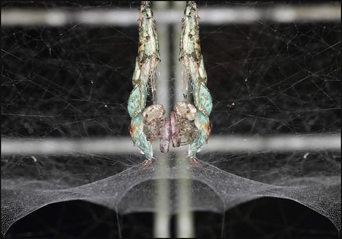 spider spidersweb familyaraneidae seqldaustralia cyrtophoraparnasia russiantentspider