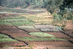 Irrigated Small Garden Plots, Aug 1986, Burundi img414
