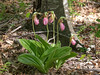 Cypripedium acaule (Pink Lady's-slipper orchid)