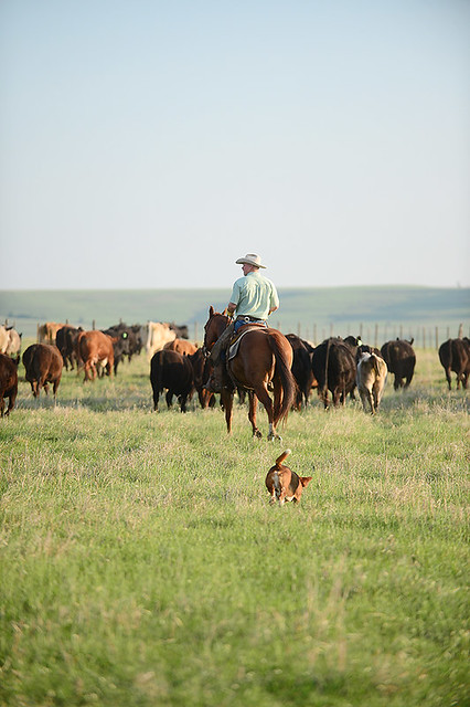 Gathering Cattle