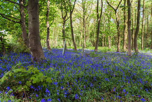 A few more Bluebells.