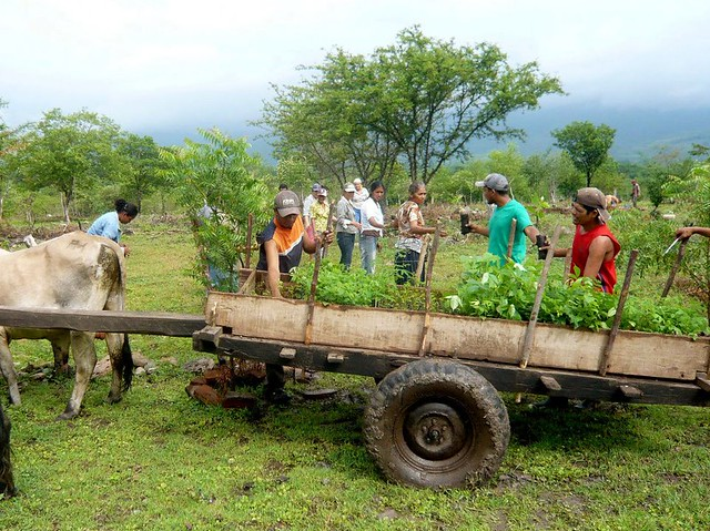 Seedlings are transferred to the field by cart