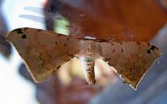 Apatelodidae