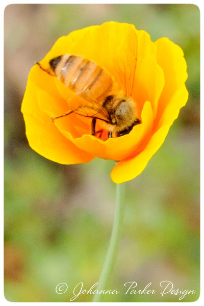 Honey-Bee-in-Poppy