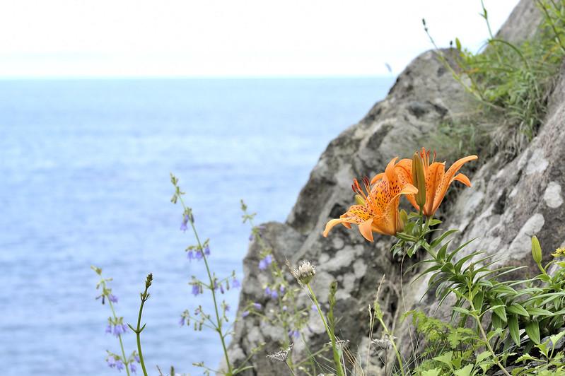Lilium maculatum at Kuji IWATE