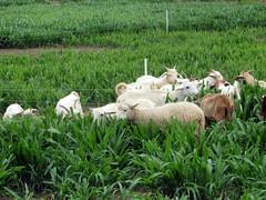 Grazing millet pasture