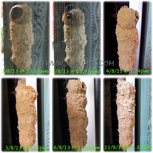 Collage showing nest-building by a Potter/Mason Wasp of the genus, Delta - Aug 3-11, 2013