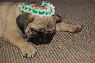 Peggy Pug playing Christmas dressups (whilst asleep)