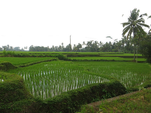 my first good look at rice paddies