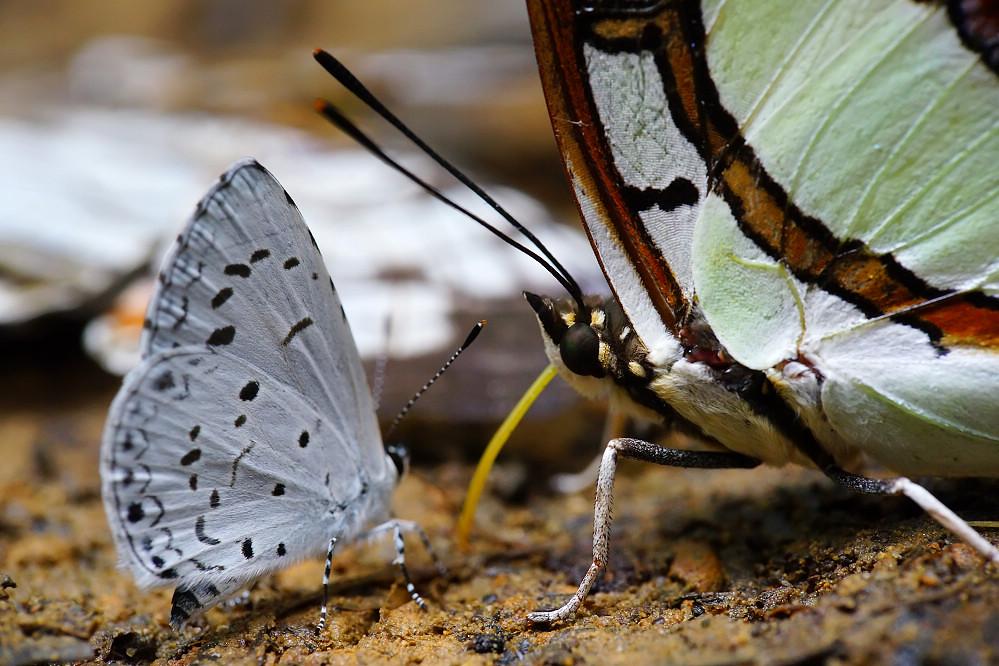 尾蛺蝶屬小雙尾蛺蝶-2