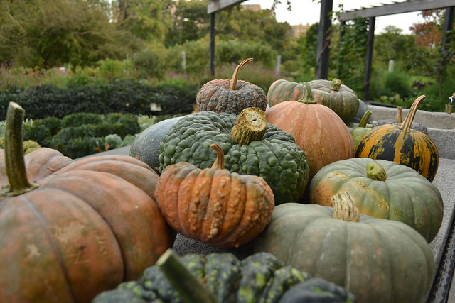 A collection of Cucurbita (pumpkins and winter squashes) from the Herb Garden. Photo by Blanca Begert.