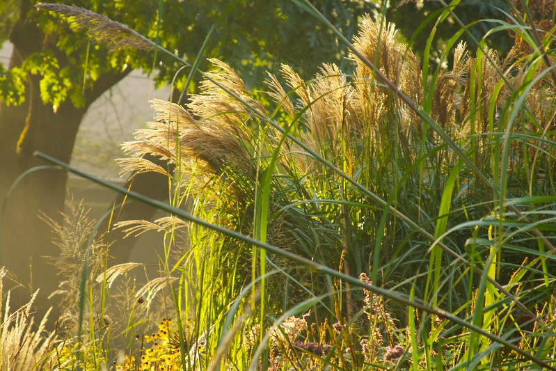 foggy miscanthus  3620