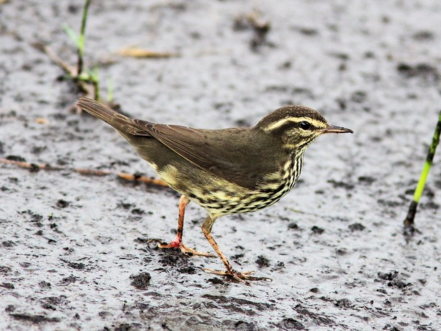 Northern Waterthrush 03-20131009