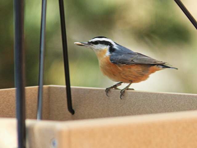 Red-breasted Nuthatch 3-20131104
